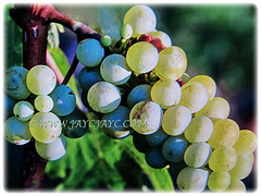 Attractive and colourful fruits of Vitis vinifera (Common Grape Vine, Wine Grape, Purpleleaf Grape, Anggur in Malay), 6 Dec 2017