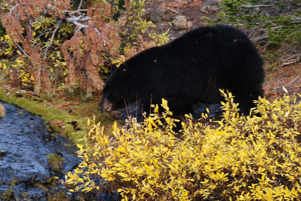 A black bear named Rosie walks near a stream amidst fall color in Yellowstone National Park in the fall of 2006
