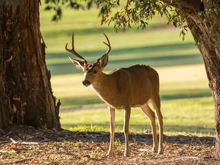 Deer on Santa Teresa Golf Course