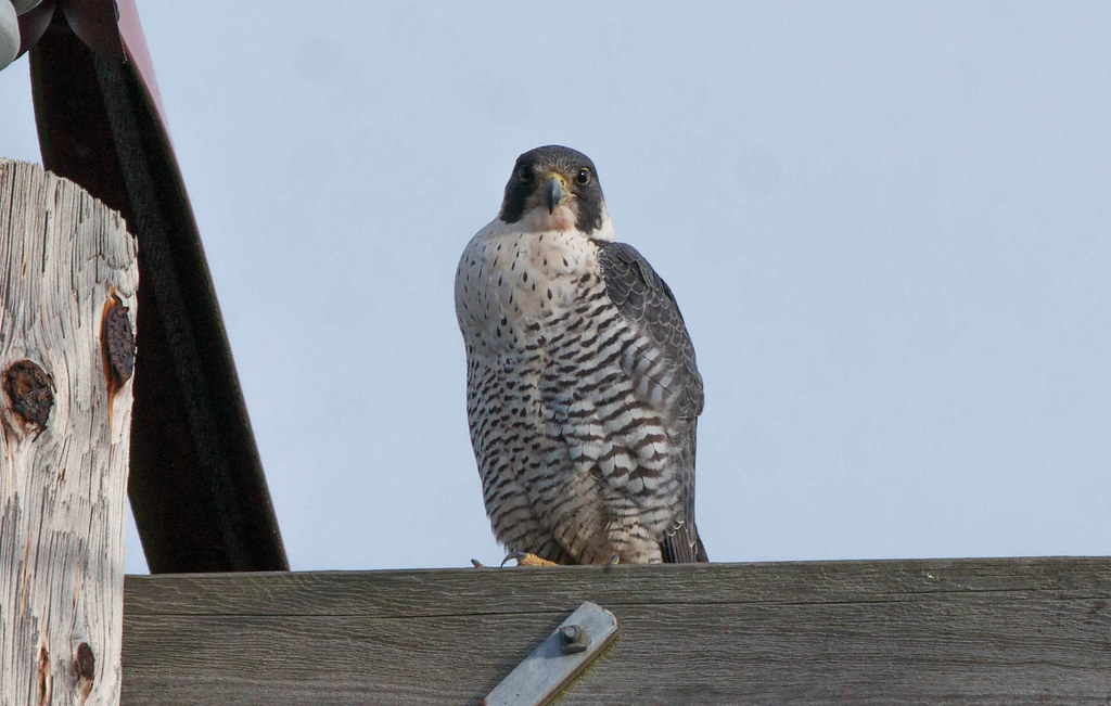 Full Falcon (1 of 1)