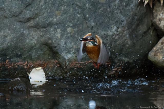 20171229-kingfisher-DSC_2856