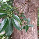 Lophostemon confertus leaf and bark