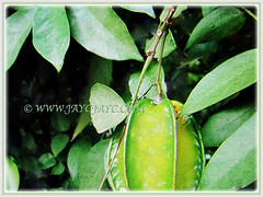 Edible fruit of Averrhoa carambola (Star Fruit, Starfruit Carambola, Caramba, Country Gooseberry, Belimbing Manis in Malay), 29 Dec 2017