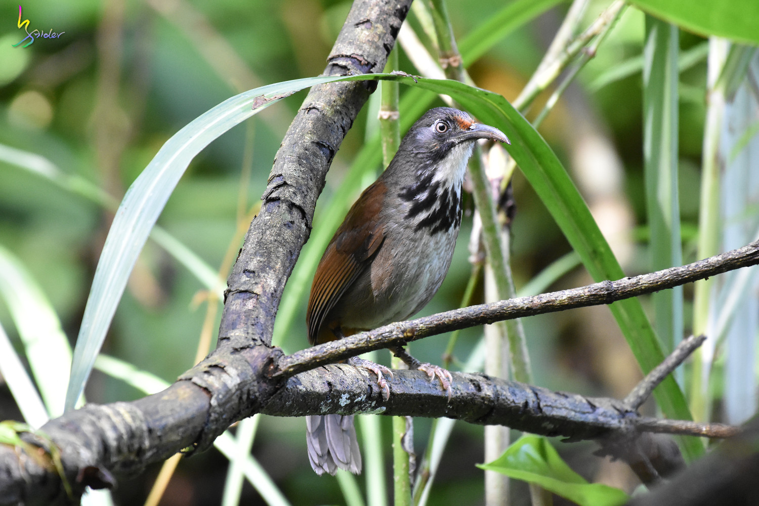 Rusty-cheeked_Scimitar-Babbler_0201