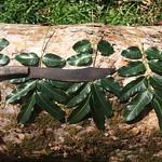 Khaya nyasica leaves