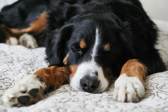 Bernese Mountain Dog, Sony ILCE-6000, Sony E 50mm F1.8 OSS (SEL50F18)