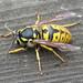 Vespula germanica (German Wasp)