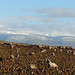 Sheep and the Pennines.