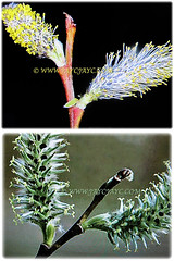 Captivating unisexual flowers of Salix discolor (American Pussy Willow, American Willow, Large Pussy Willow, Pussy Willow, Glaucous Willow), 4 Jan 2018