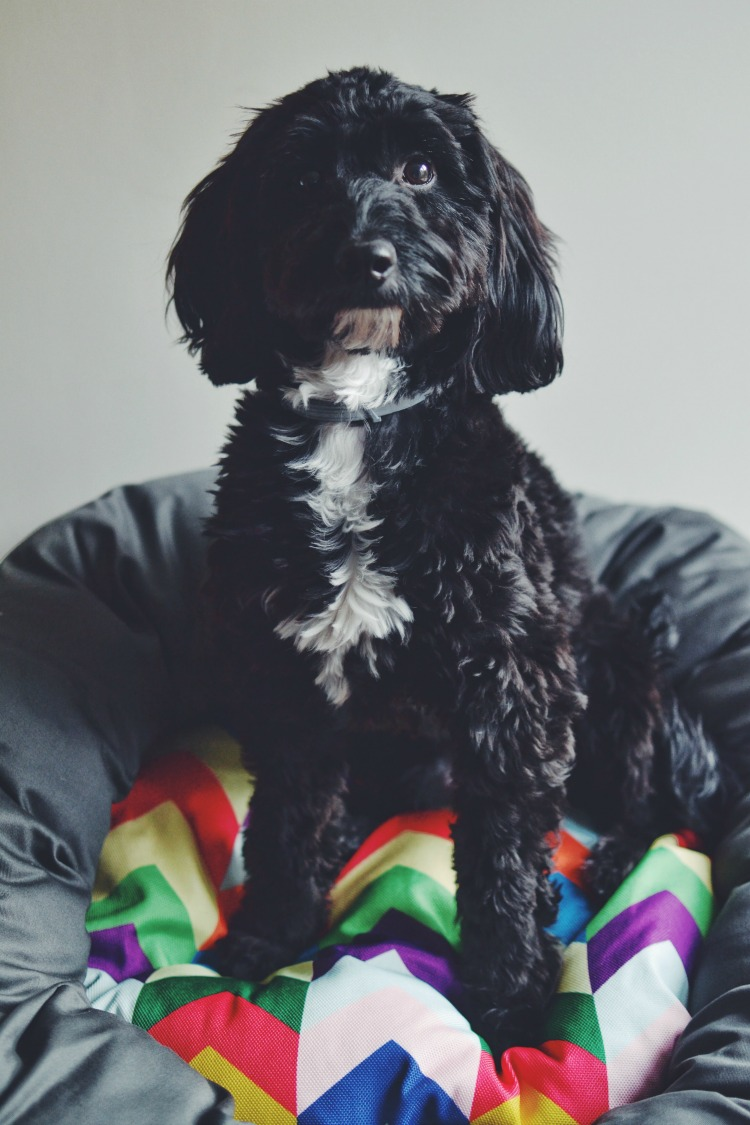 Cockapoo Raised by humans