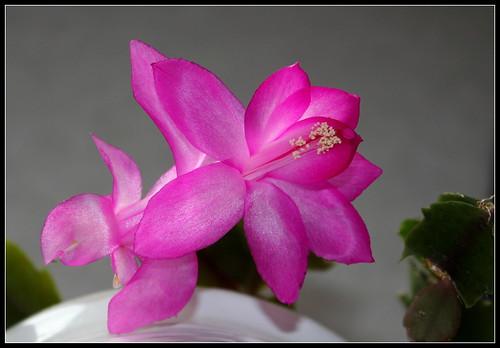 dernières fleurettes de l'année - Page 2 25130252918_7f1a1b4ac2