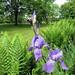Fougères, Iris