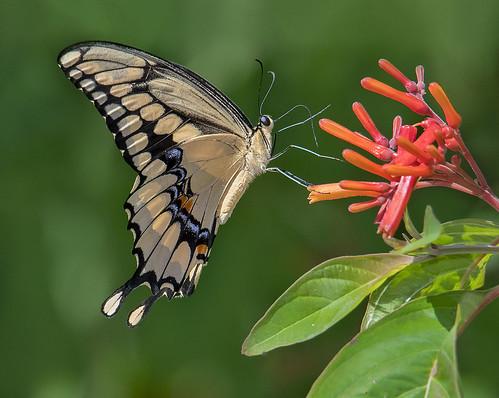 Giant Swallowtail Butterfly, Fairchild Tropical Botanic Garden, Miami.