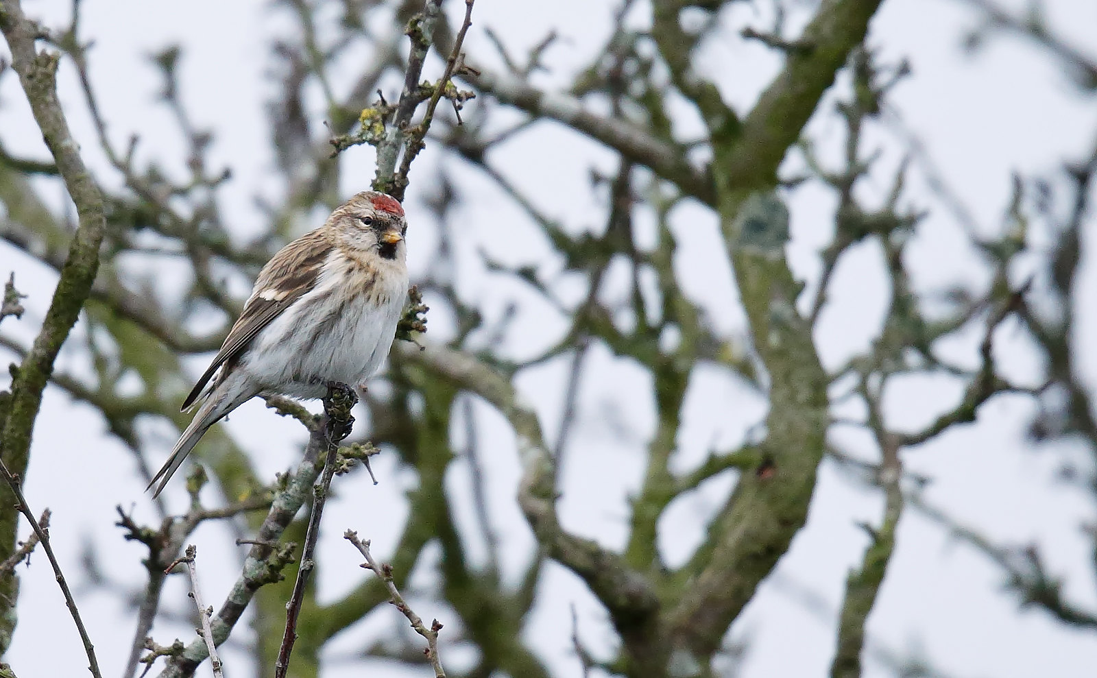 Common Redpoll (Mealy Redpoll)