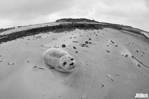 common harbor seal, Seehund, Phoca vitulina @ december 2017
