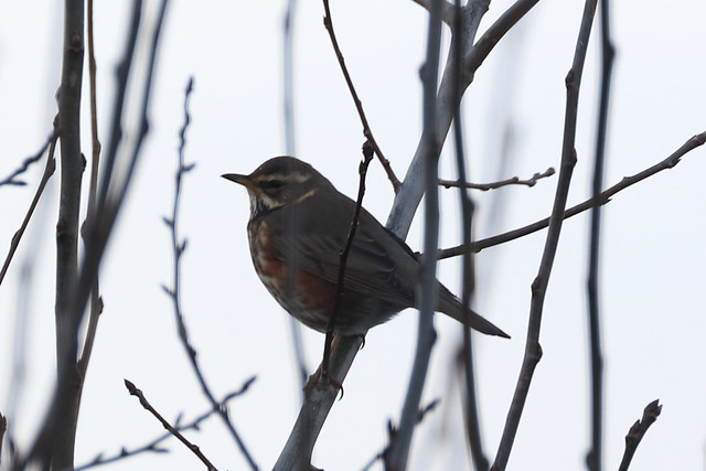 The redwings are back