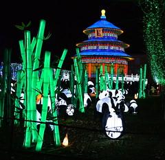 Pandas dans foret de bambou01