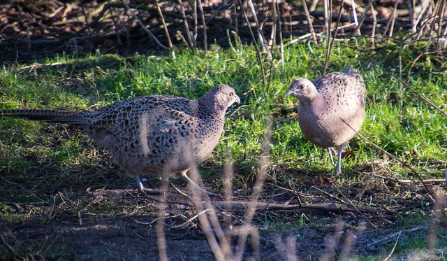 Female Pheasant - Brockholes 2018-01-07