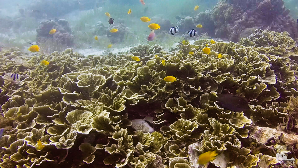 lettuce_leaf_corals_and_reef_fish