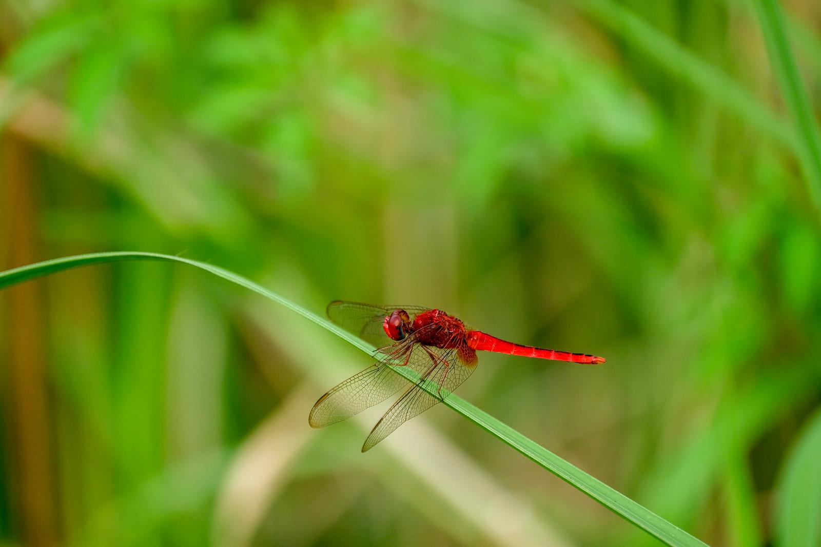 Common_Scarlet_rocothemis Servilia (猩紅蜻蜓)_DSCF6016