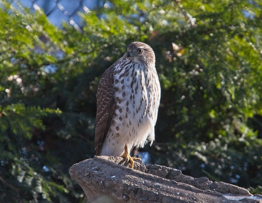 Cooper's hawk on the birdbath