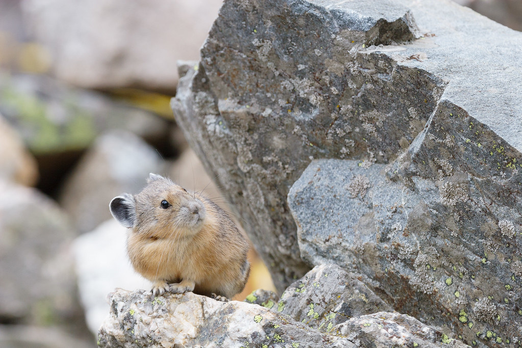 An American pika looks up while sitting in a talus field next to the Cascade Canyon Trail in Grand Teton National Park in Wyoming