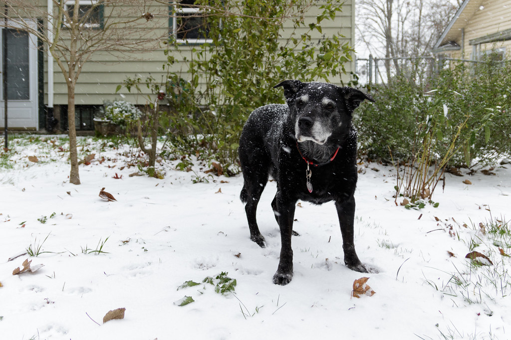 Our dog Ellie stands in our backyard as snow falls around her