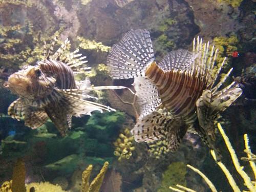 Lionfish (3) #toronto #ripleysaquarium #aquarium #fish #lionfish #latergram