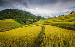 Pa Pong Piang Rice Terraces