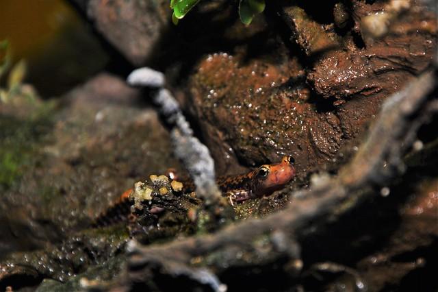 long-tailed salamander (Eurycea longicauda) _DSC0129