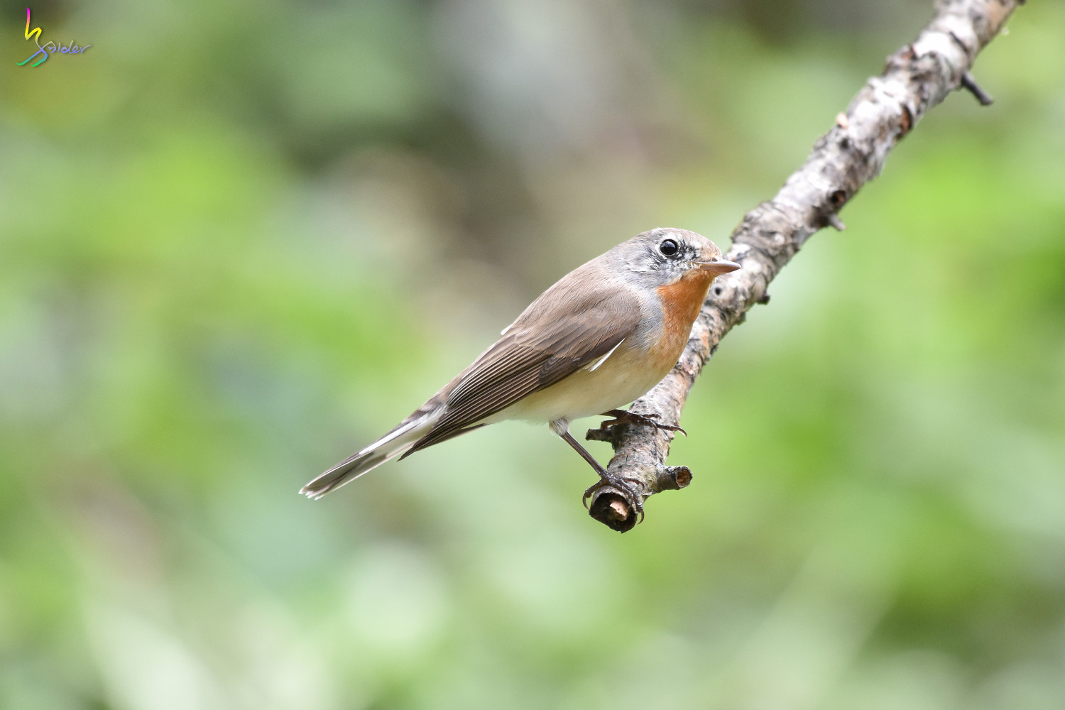 Red-breasted_Flycatcher_1184