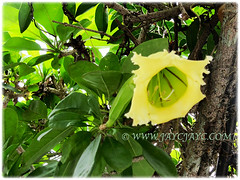 Mesmerising yellow flower of Solandra grandiflora (Chalice Vine, Cup of Gold, Goldcup Vine, Golden Chalice Vine), 18 Dec 2017