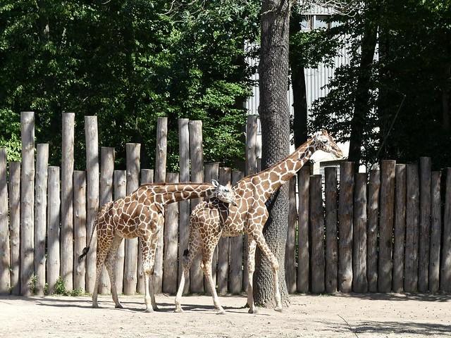 Giraffe, Zoo Brno
