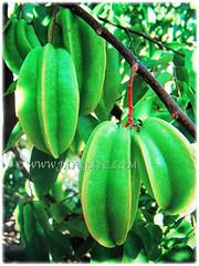 Unripe green fruits of Averrhoa carambola (Star Fruit, Starfruit Carambola, Caramba, Country Gooseberry, Belimbing Manis in Malay), 31 Dec 2017
