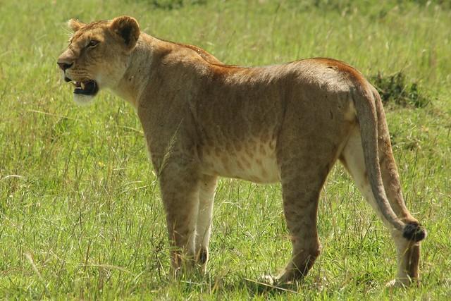 Maasai Mara Lions
