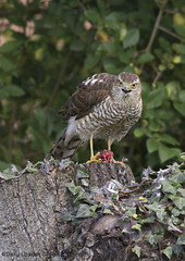 Sparrowhawk chowing down in our garden.
