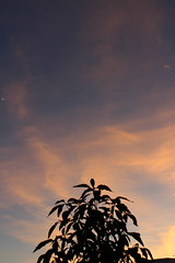 Sunset and plant