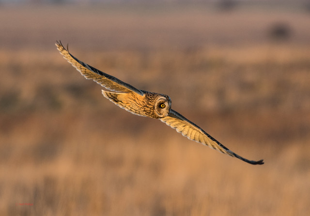 4 short eared owl - Best2017