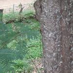 Leucaena diversifolia