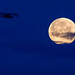 Silhouette of a bird in the sky and super moon by marcoverch
