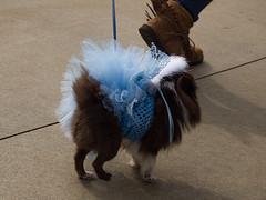 Ballerina pup in blue