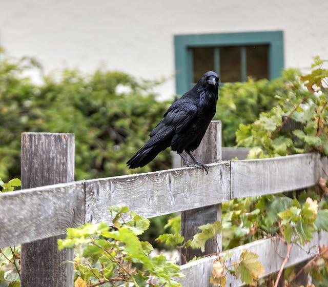 Header of corax