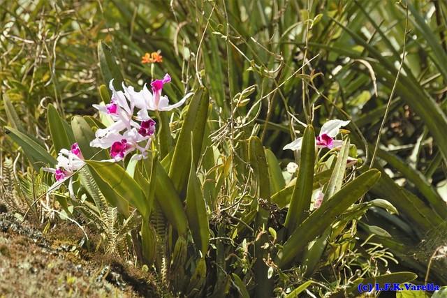 Epidendrum fulgens e Laelia purpurata in situ