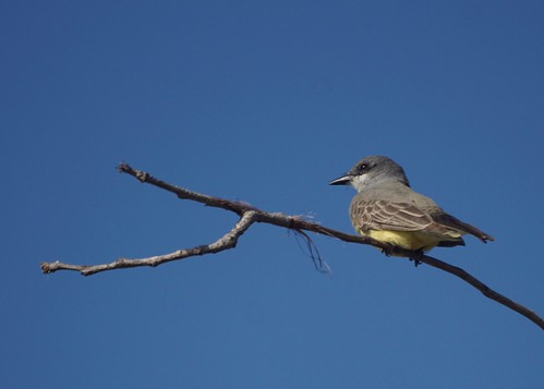 Cassink's Kingbird