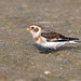Snow Bunting by KHR Images