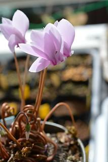 DSC_6496 Cyclamen hederifolium シクラメン ヘデリホリウム