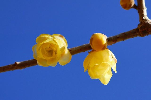Nagatoro_Wintersweet_(2018_01_02)_6_resized_1 蝋梅の木の枝を撮影した写真。 右から左へ向かって枝が伸びている。 濃い黄色の花が2つ咲いている。 濃い黄色の蕾が付いている。