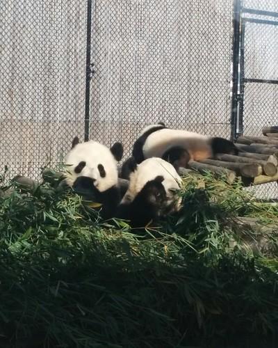 Er Shun, Jia Panpan, Jia Yueyue (9) #toronto #torontozoo #pandas #giantpandaexperience #ershun #jiapanpan #jiayueyue #bamboo #latergram