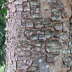 Khaya senegalensis bark
