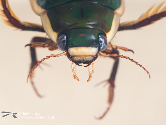 black bellied diving beetle Dytiscus semisulcatus in photo aquarium